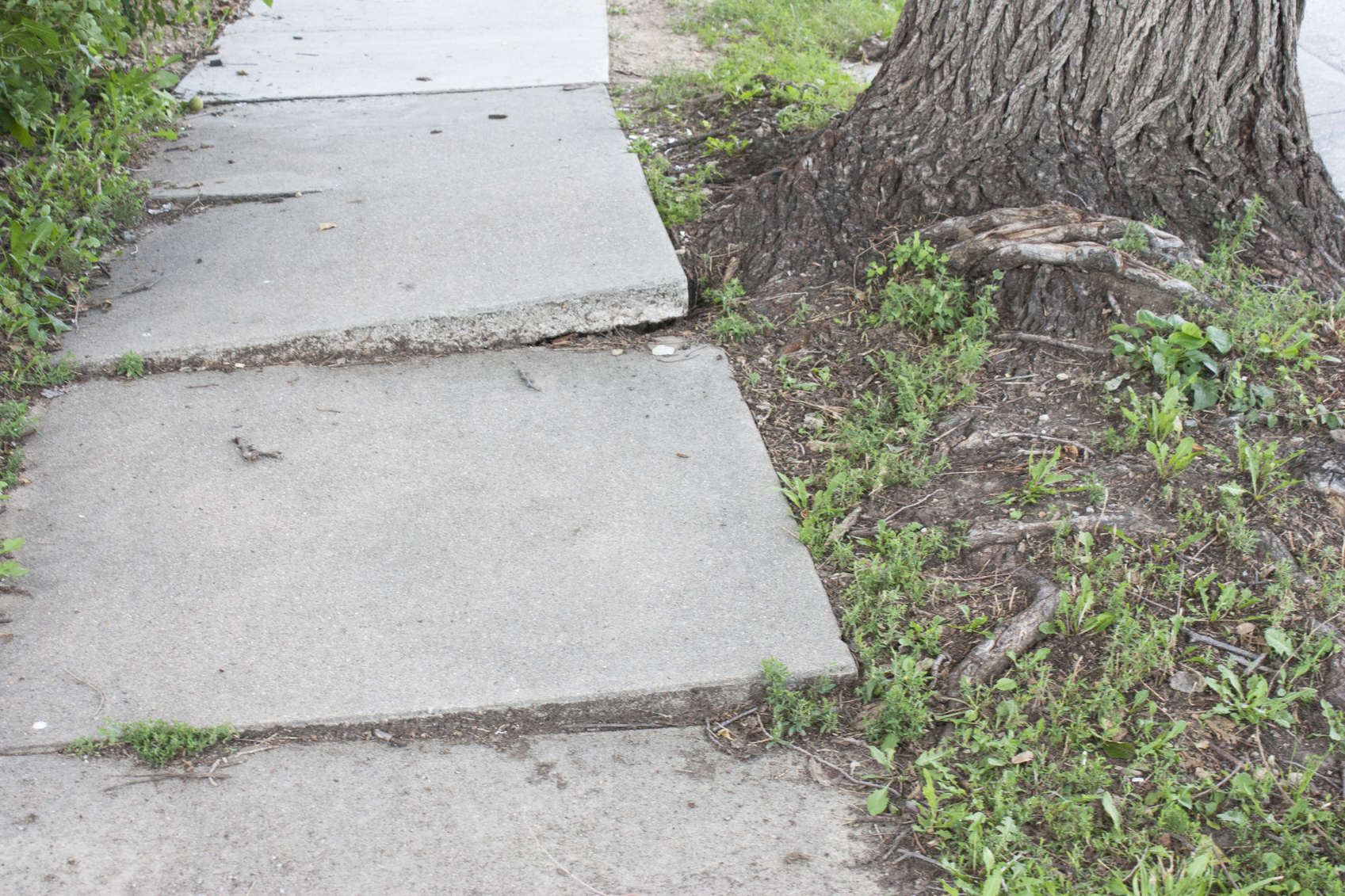 Sidewalk disheveled by tree roots
